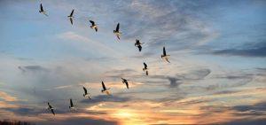 Gansos salvajes volando en el cielo